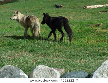 Two wolves moving about