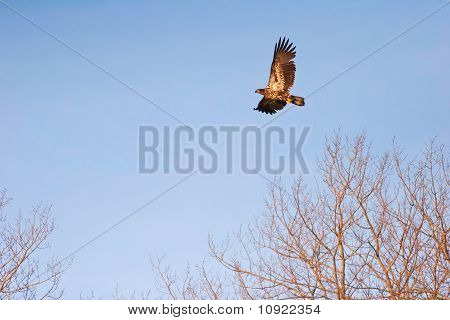 Wild Immature Bald Eagle In Flight At Sunset