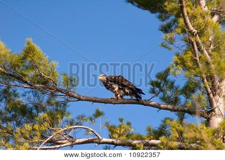 Wild Immature Bald Eagle Perched In White Pine Tree