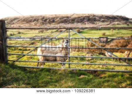Sheep looking through the steel gate