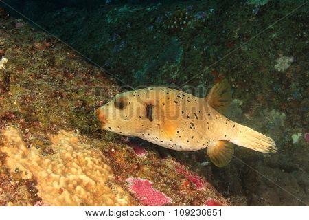 Blackspotted Pufferfish fish