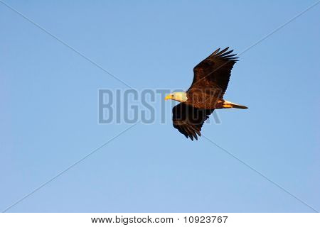 Wild Soaring Bald Eagle In Flight