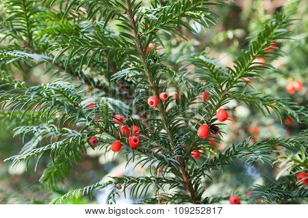 Red Berries On Yew Tree Branches