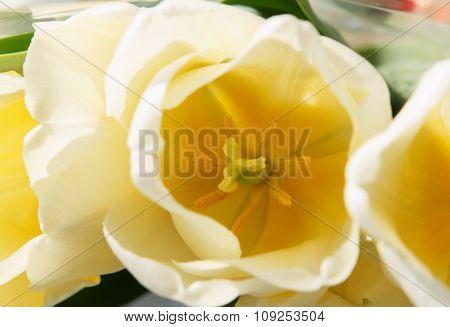 Yellow Tulips Macro