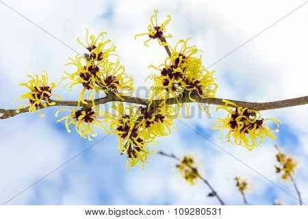 Hamamelis Mollis With Yellow Flowers Clouds And Blue Sky