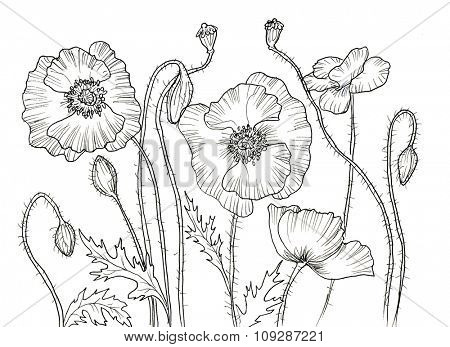 Line ink drawing of flower Poppy. Black contour on white background