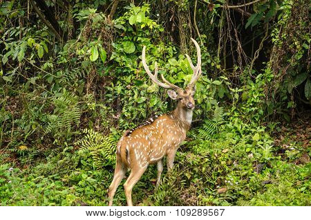 Chital Is Deer ,live In Forest And Is Herbivorous