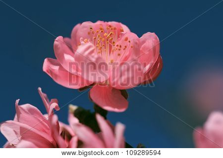 Flower Of Sakura. Close-up Shot. Selective Focus.