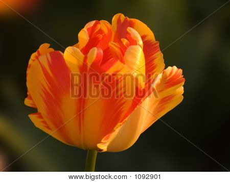 Red &Yellow Tulip