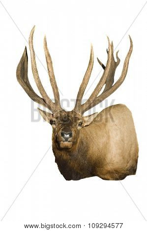 Taxidermy mount of an Elk (Wapiti), isolated over White
