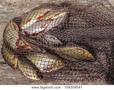 Freshly Caught River Rudd Fishes On Wooden Background. Just Caught Rudd Lying On Fishing Net.