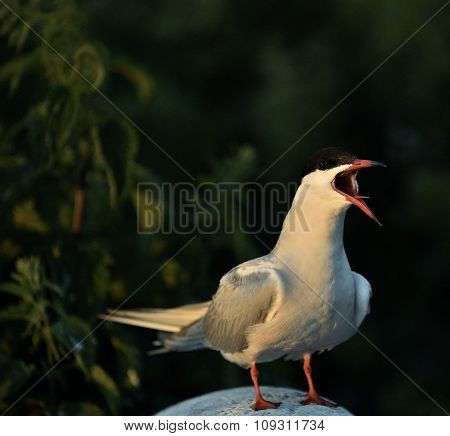 Flitting The Common Tern (sterna Hirundo)./ The Common Tern (sterna Hirundo) Is A Seabird Of The Ter