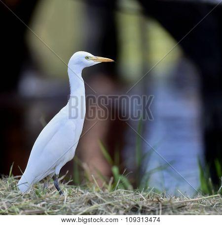 The cattle egret (Bubulcus ibis). Cattle Egret (Bubulcus ibis ibis) in winter plumage