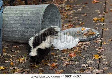 Striped Skunk (mephitis Mephitis) By Overturned Trash Can
