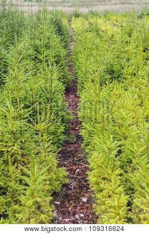 Young Trees in the Nursery for Growing Spruce for Christmas. Young forest grow. Shallow focus poster