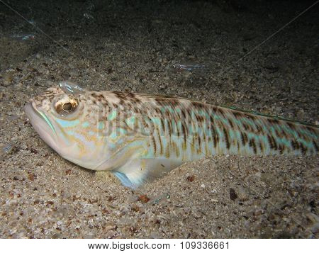 Venomous And Poisonous Fish Greater Weever (trachinus Draco) On Sandy Sea Floor