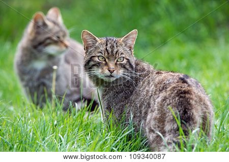Scottish Wildcat(Felis Silvestris Grampia)