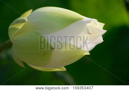 Closeup White lotus is blooming in the lake. Lotus flower in the farm at daytime. Buddhist give lotus and pray for Buddha. poster