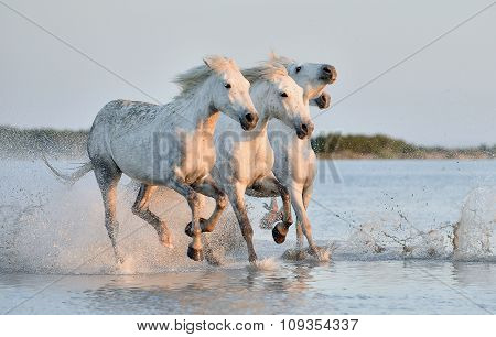 Herd Of White Horses Running Through Water