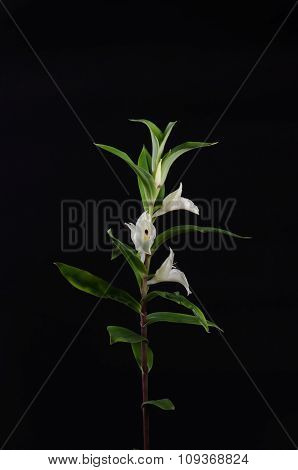 Terrestrial Orchid, Brachycorythis Henri, Native Specie Terrestrial Orchid In The Southeast Asian Ar