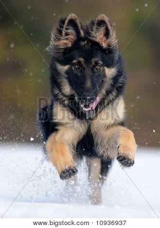Black German Shepherd in the snow field