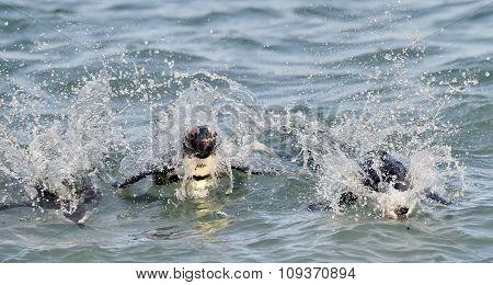 African Penguins Swimming In Ocean.