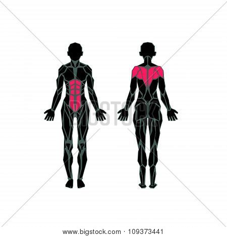 Polygonal Anatomy Of Female Muscular System, Exercise And Muscle Guide. Women Muscle Vector Art, Bac