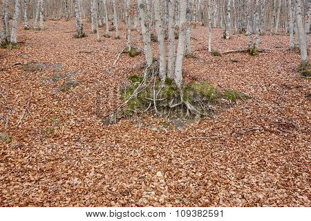 Autumn Landscape With Beech Forest Without Leaves. Tejera Negra. Spain