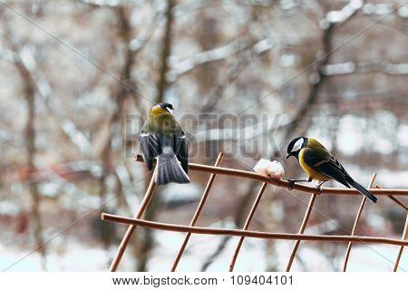 bullfinch and yellow belly in the winter