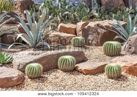 Cactus In Botanical Garden, Model Of Desert Garden.