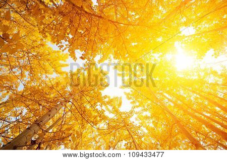 Fall Aspen Trees from low angle view with golden sunlight, Leh District in the state of Jammu and Kashmir, India.