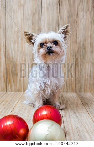 Yorkie Christmas Balls Together