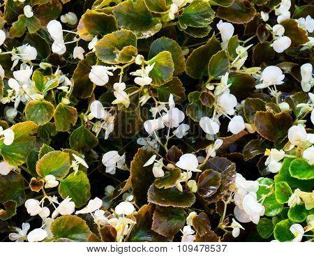 Bush of white flowers lungwort Pulmonaria photo background poster