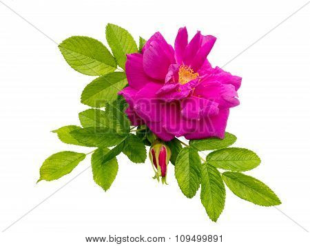 Pink Rose And Bud Isolated On White