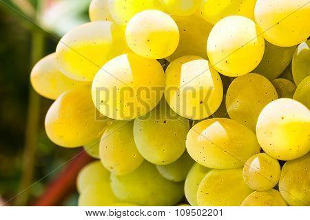 Ripe Appetizing Grape
