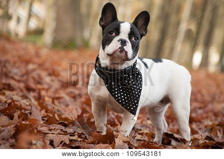Franse Buldog In The Forest