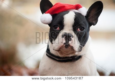 Franse Buldog With Christmas Hat