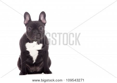 Franse Buldog Sitting