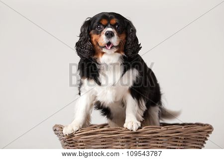 Cavalier King Charles-spaniël In Basket