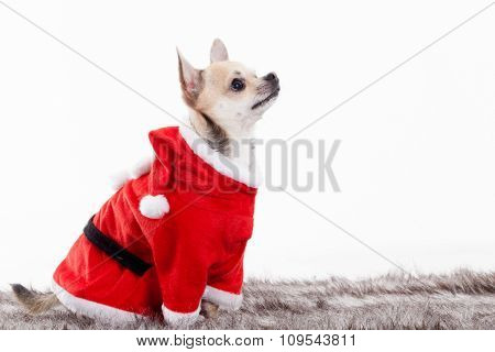 Chihuahua In Christmas Outfit