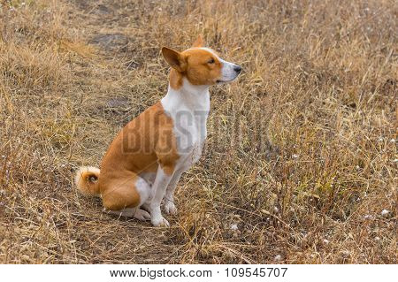 Outdoor portrait of Basenji dog sitting in autumnal herbs