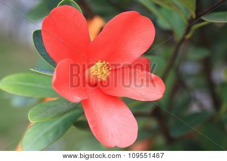 Azalea Camellia flower
