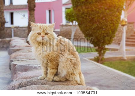 Red Egyptian Cat Sitting