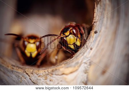 Portrait Of Two Big Wasps - Hornets