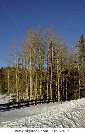 Grove Of Aspens