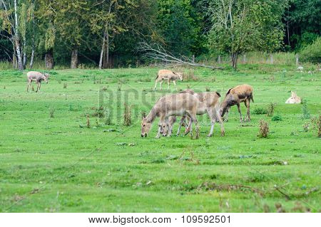 Pere David's Deer (elaphurus Davidianus), Also Known As The Milu Or Elaphure