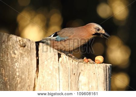 Eurasian Jay Searching Food On Birdfeeder