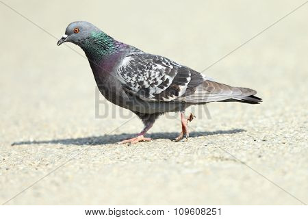 Feral Pigeon On Park Alley