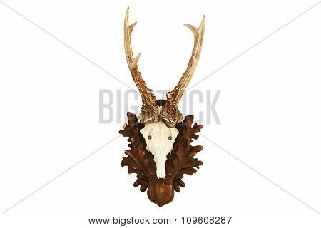 Isolated Capreolus Hunting Trophy