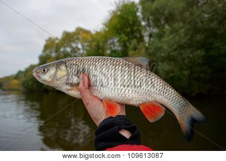 Chub in hand against autumn river landscape